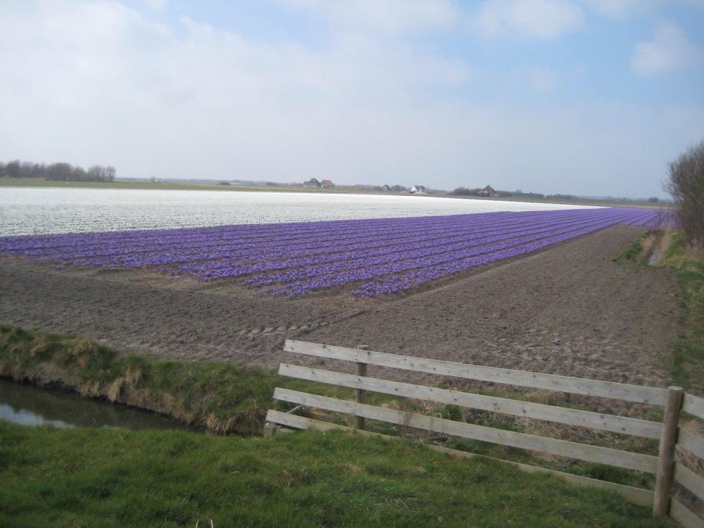 Krokusfelder